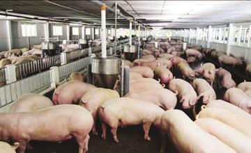 Yếu tố dinh dưỡng trong chăn nuôi heo