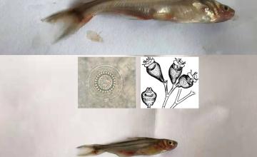 Bệnh  thường gặp trên cá giống vào mùa mưa