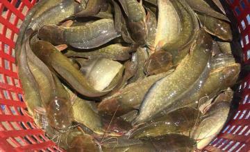 Khách hàng thu hoạch cá trê